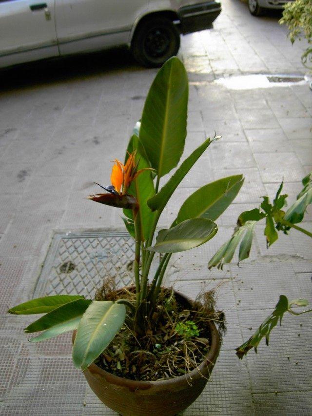 Стрелитция (Strelitzia)