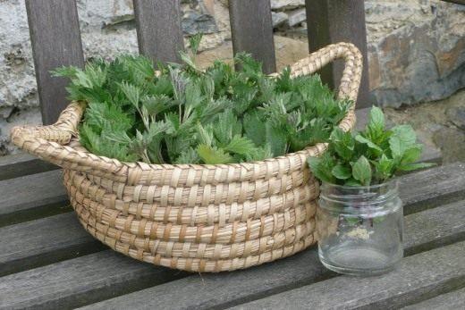 Крапива двудомная для травяного сбора