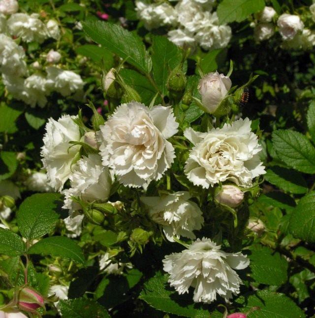 Роза Уайт Гроотендорст (White Grootendors)