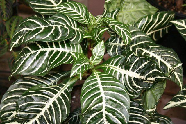 Крупные листья афеландры с серебристыми жилками декоративны в течение всего года