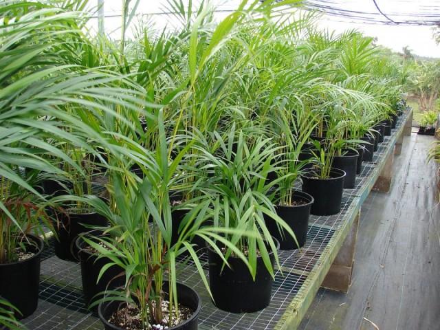 Хризалидокарпус желтоватый (Chrysalidocarpus lutescens)