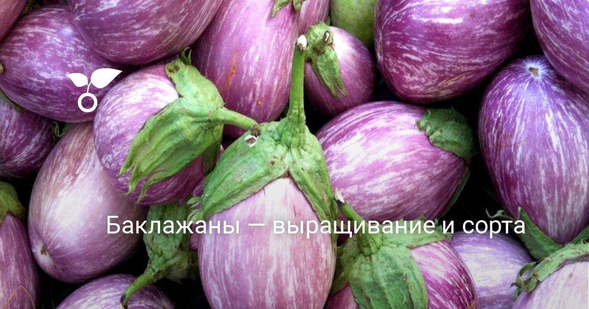 Особенности выращивания сорта баклажанов Балу