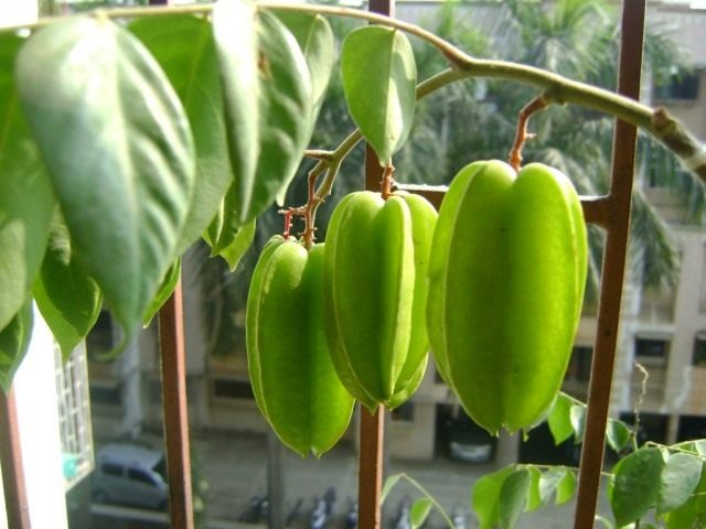 Плоды карамболы (Averrhoa carambola)