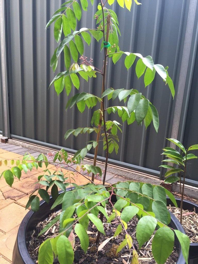 Карамбола выращивание в домашних условиях 5