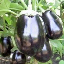 Баклажан «Чёрный красавец»