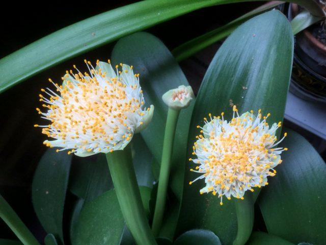 Гемантус белый (Haemanthus albiflos)
