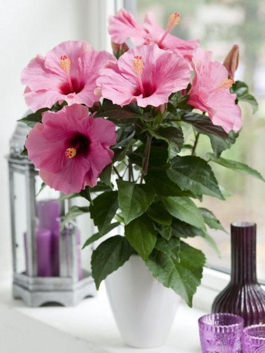 Энергия китайской розы внесет в дом недостающее здоровье, радость и любовь