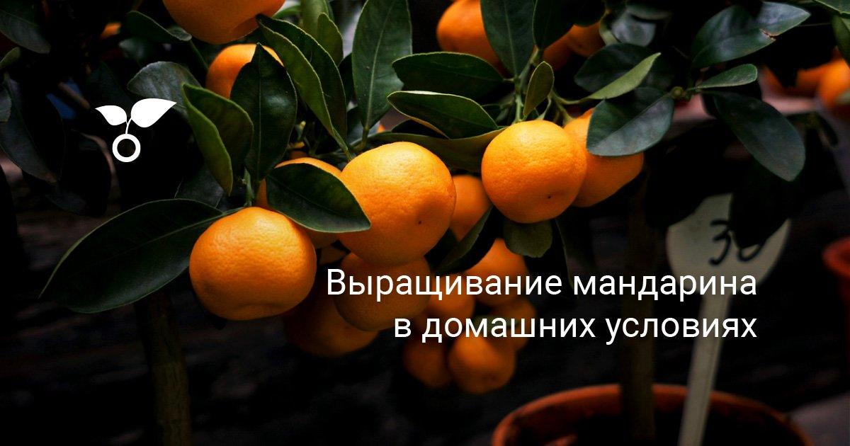 Размножение и уход за комнатным мандарином в горшке: советы и правила
