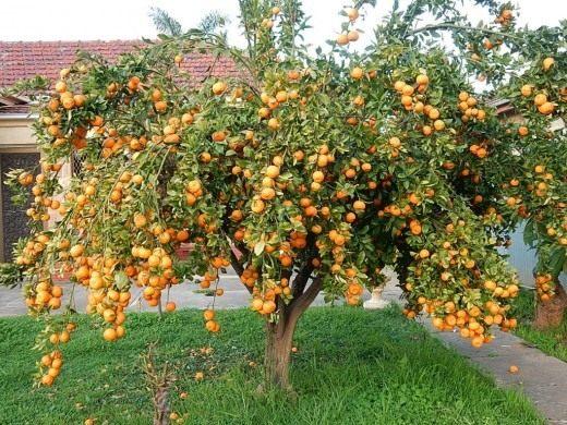 купили мандариновое дерево с плодами как ухаживать