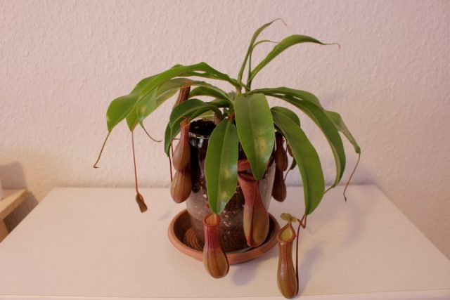 Непентес крылатый (Nepenthes alata)