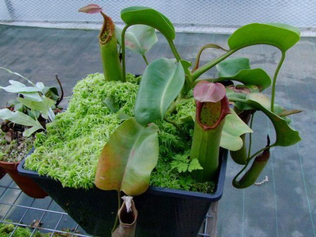 Непентес усеченный (Nepenthes truncata)