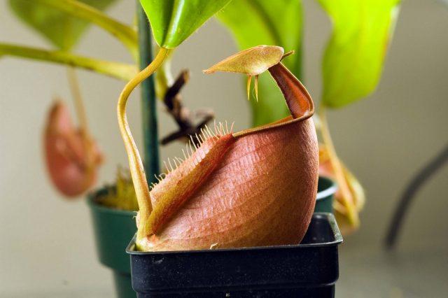 Непентес двухшпорный (Nepenthes bicalcarata)