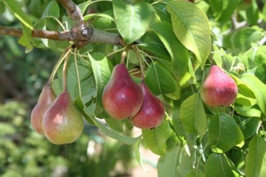 Груши (Pears)