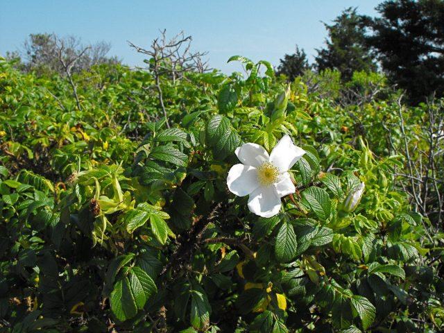 Куст Розы морщинистой