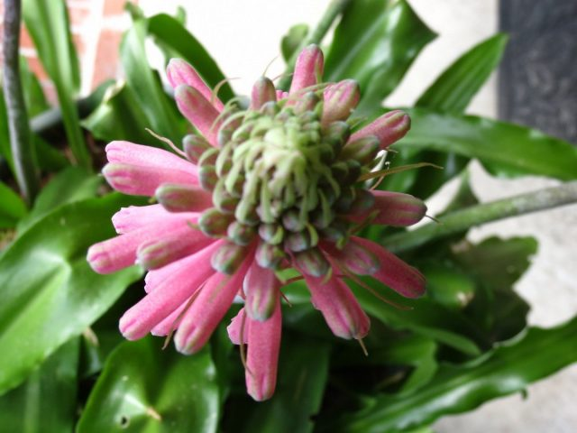 Вельтгеймия прицветниковая (Veltheimia bracteata)