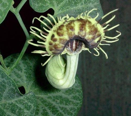 Кирказон (Aristolochia)