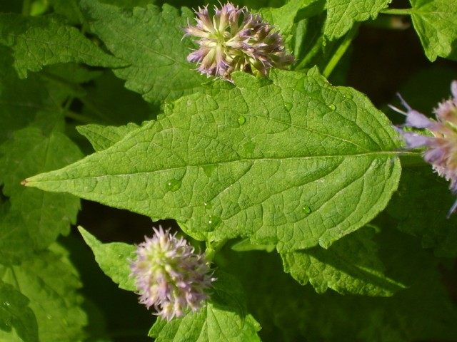 Агастахис морщинистый, или Лофант тибетский (Agastache rugosa)