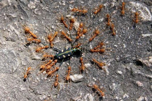 Муравьи (Ants)