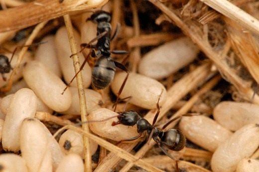 Чёрный садовый муравей (Lasius niger)