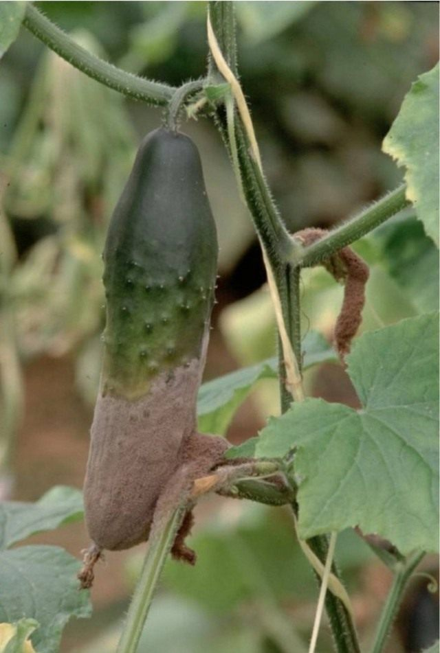 Болезни и вредители огурца, тыквы, кабачка и патиссона