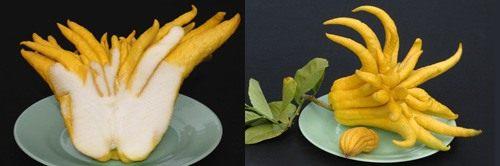 Цитрон пальцы Будды (Buddha's Hand citron)