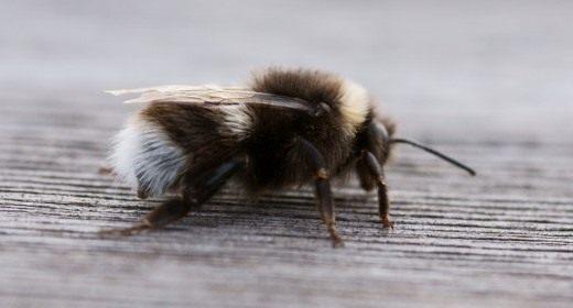 Шмель (Bumblebee)