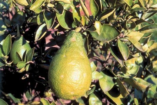Цитранжкват (Citrangequat)