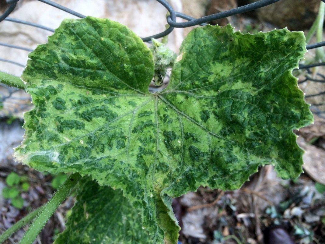 Болезни и вредители кабачков: лечение мучнистой росы, борьба с тлей, фото
