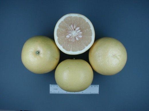 Грейпфрут Duncan (Duncan Grapefruit)