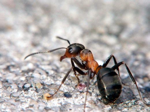 Рыжий лесной муравей (Formica rufa)