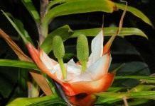 Фрейсинетия (Freycinetia)