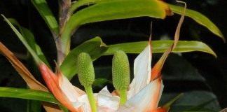 Фрейсинетия древовидная (Freycinetia arborea)