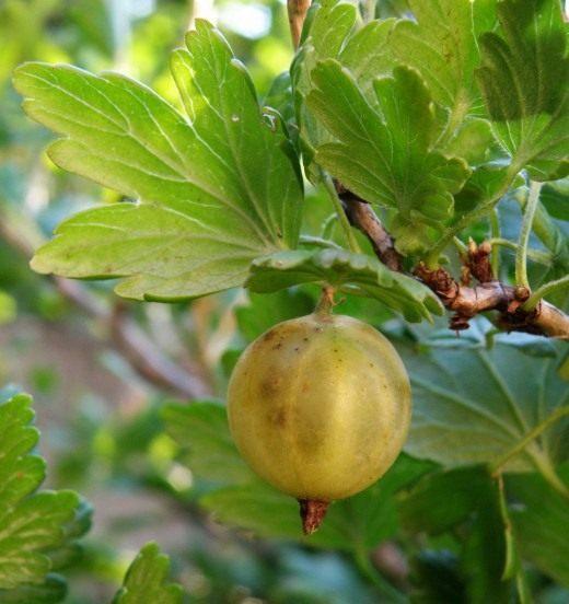 Крыжовник (Gooseberry)