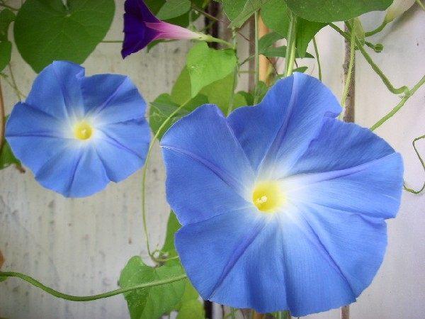 Цветок ипомея  уход и посадка фото ипомеи ипомея