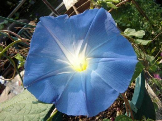 Ипомея трехцветная, сорт Небесно голубая