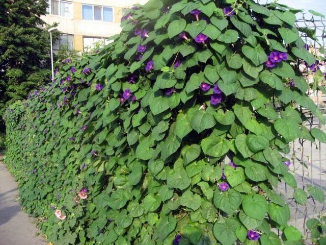 Ипомея Пурпурная (Ipomoea purpurea)