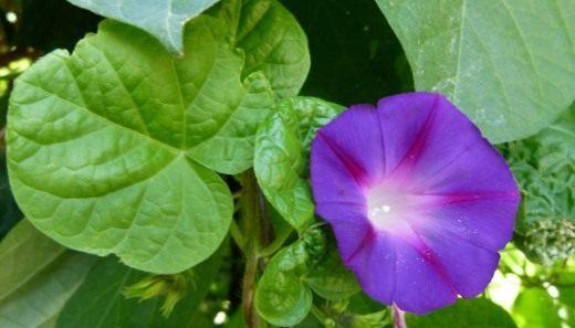 Ипомея Пурпурная, сорт Звезда Ялты