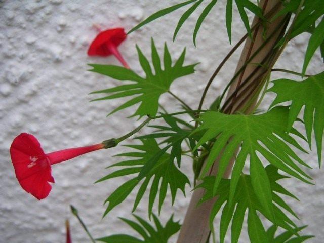 Ипомея Слотера (Ipomoea sloteri)