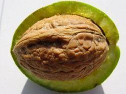 Орех грецкий в плоде