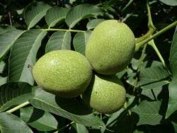 Плоды ореха грецкого