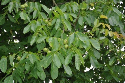 Плоды грецкого ореха на ветвях