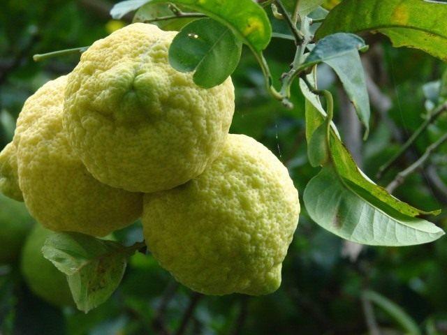Лимон (Cítrus límon)