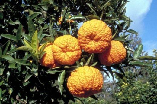 Мандарин королевский (Mandarin orange)