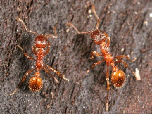 Рыжая мирмика рабочий (Myrmica rubra workers)