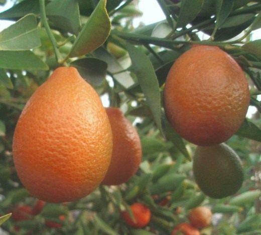 Мандаринкват (Orangequat)