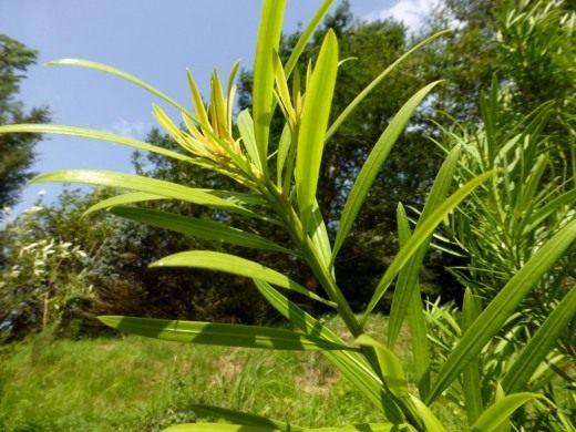 Ногоплодник, или подокарпус китайский (Podocarpus chinensis)