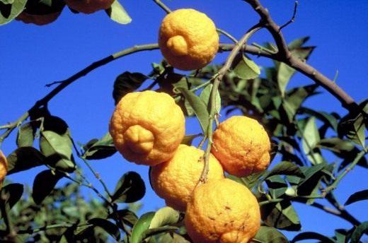 Грубый лимон (Rough lemon)