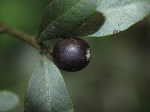 Севериния буксифолия (Severinia)