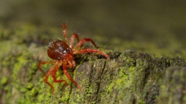Паутинные клещи (Tetranychidae)