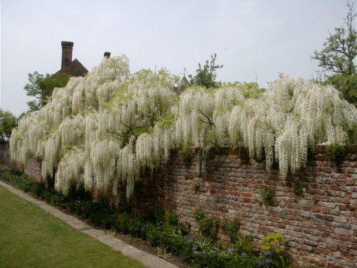 Белая глициния. Сад замка Сисингхерст, Англия